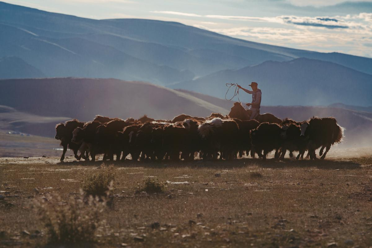 Kazakh nomads breed sheep, goats, cows, yaks, camels and horses. Some herds count more than a thousand animals.