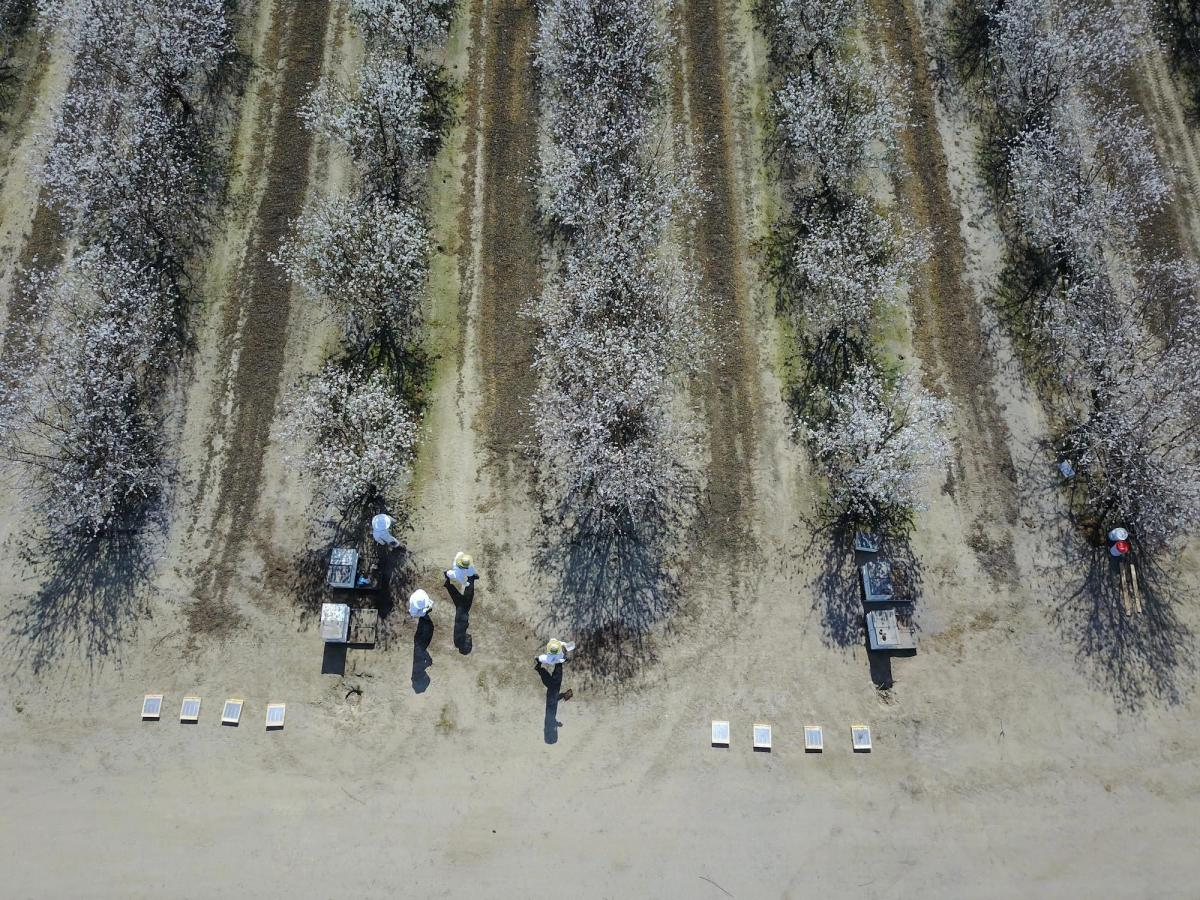 Top view of an almond orchard with beekeepers in beekeeping suit tending to beehives