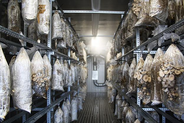 Oyster mushroom farm/nursery with mushrooms growing in bags hung from metal shelves or racks