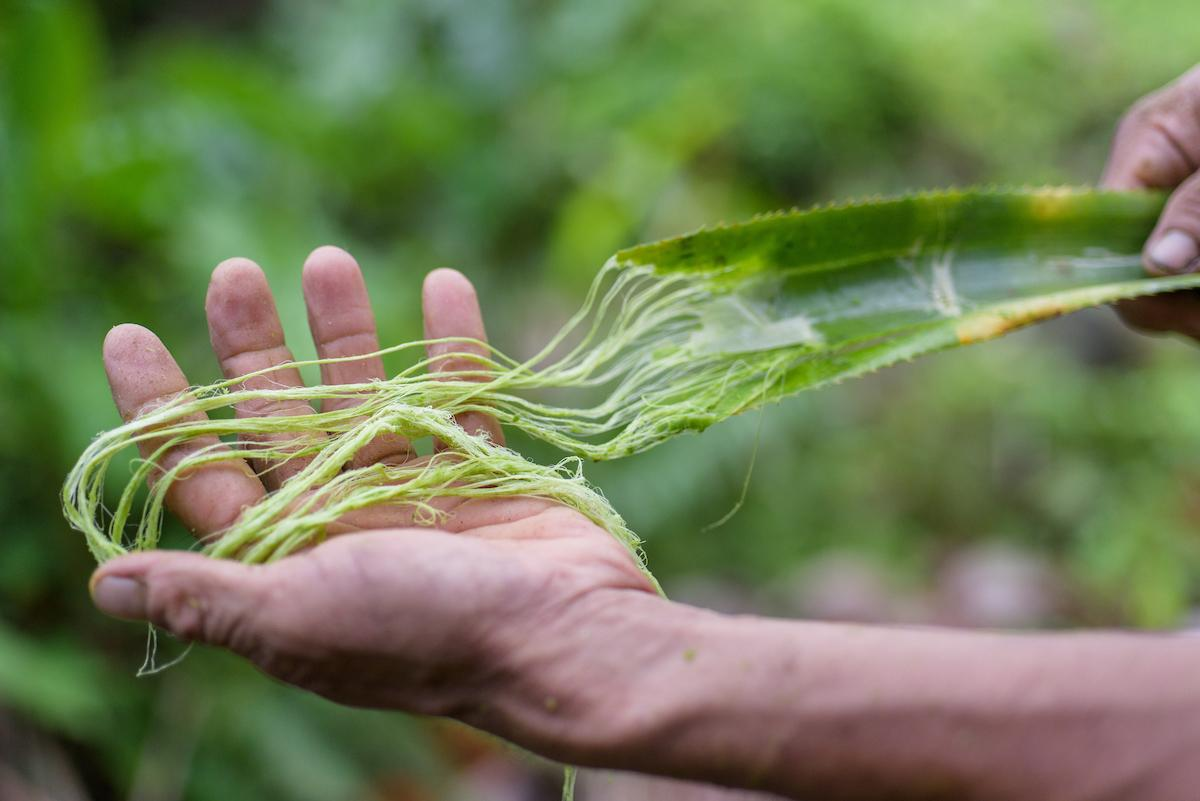 Fibre being extracted from pineapple leaves.