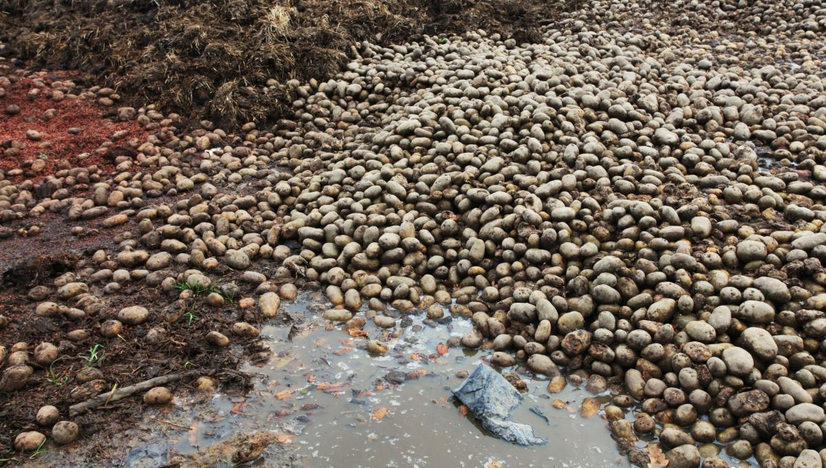 Piles of waste potatoes
