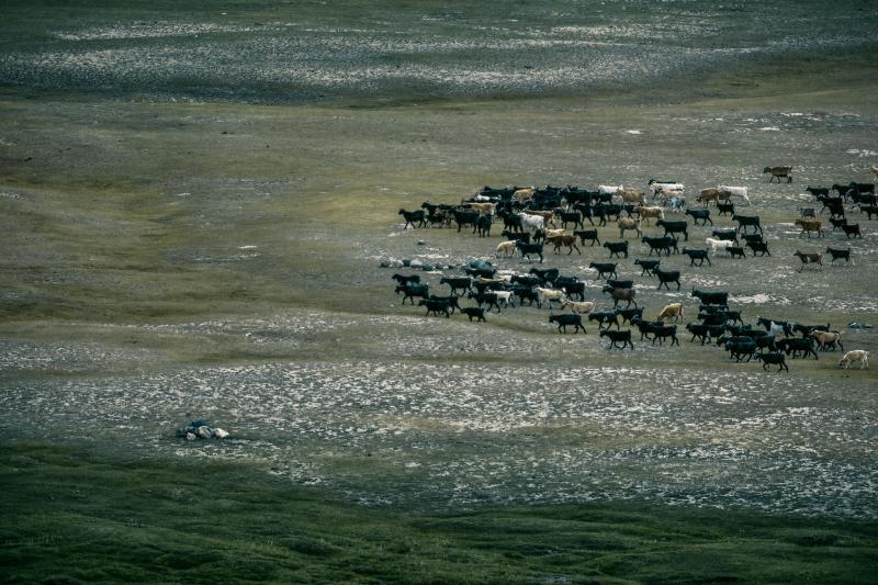 A herd of goats.