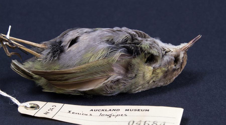 Museum exhibit of (taxonomical) bushwren bird on blue surface with a tag having the species name