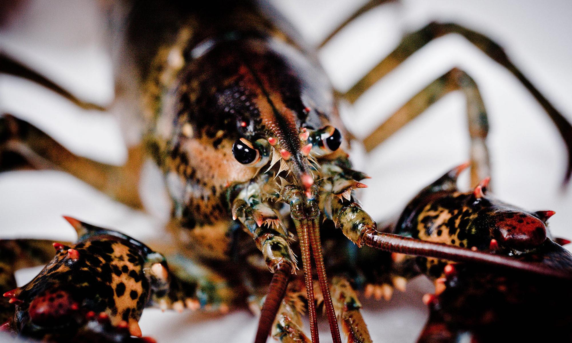 Are crabs and lobsters sentient? | The Lovepost